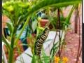 MonachCaterpillar